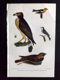 Alexander Wilson 1877 Bird Print. Broad-Winged Hawk, Chuck-Wills Widow, Warbler